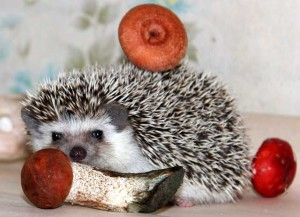 African pygmy hedgehog, the content in the home and care