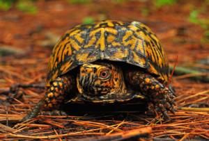 Karolinska box turtle, content, feature, description and a photo