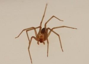 Description of species of poisonous spiders brown lonely breed characteristics, photos