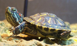 Red-eared sliders, content in the home, care, characteristics, description and a photo