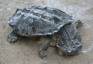 Description Matamata turtle species, breed characteristics of the photo