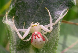 Crab spider, characterization, description and a photo