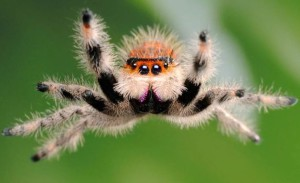 Jumping spider, characterization, description and a photo