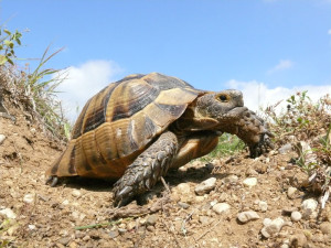 Description Mediterranean tortoise, photo type, characteristic of the breed