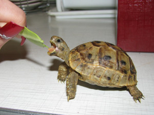 Description Central Asian tortoise, rock photo, type of characteristic