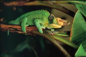 Трехрогий хамелеон, описание и фото.