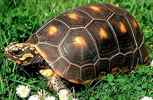 Coal (red-legged) tortoise, the contents in the home, care, description and a photo