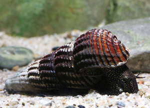 Snail tilomelaniya, content, description and a photo