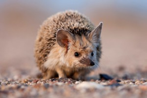 Long-eared hedgehog, the contents in the home, the description and photo