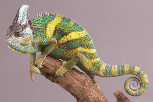 Yemen chameleon, the contents in the home, care, description and a photo
