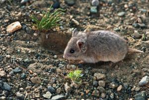 Description breed Transbaikalian hamster, features, photos