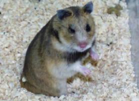 Description Transcaucasian breed hamsters, species characteristics, photos