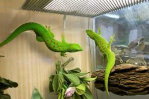 Description Madagascar gecko species phelsuma day, rock photo, characteristics