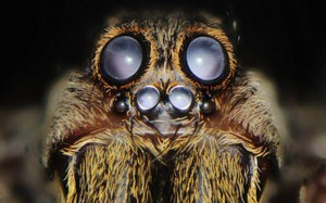 Description spiders breed Loophole, features, photos