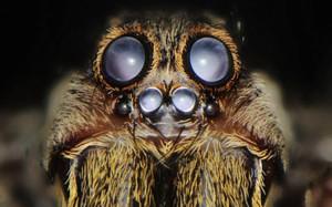 Description spiders breed Loophole, features, photos