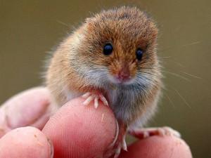 Description Little dwarf mouse breed, photo
