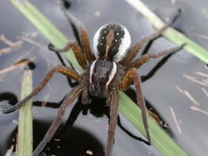 Description of water spider species Serebryanka, breed characteristics, photos