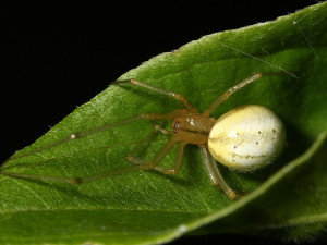 Description Tenetnik spiders breed, characteristics, photos