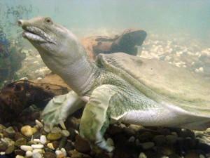 Описание черепахи вида Китайский трионикс, характеристика породы, фото.