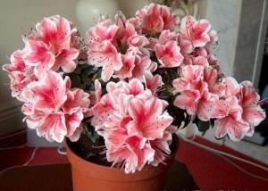 Азалія фото квітки