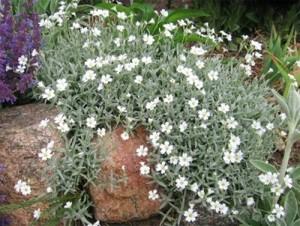 Ясколка (многолетние цветы) фото