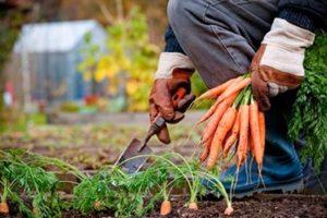 Собираем урожай моркови