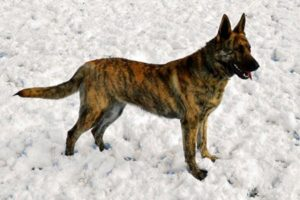 Голландская овчарка собака (1)