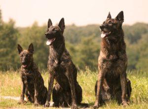 Голландская овчарка собака (2)