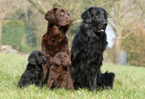 Прямошёрстный ретривер порода собак