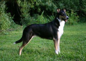 порода собак Короткошёрстный колли