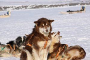 фото гренландская порода собак