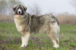 румынская карпатская овчарка фото