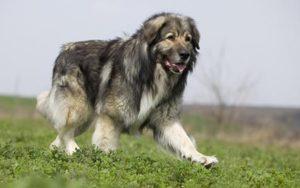 румынская карпатская овчарка порода