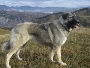 румынская овчарка фото