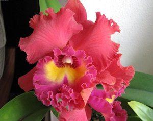 Каттлея орхидея фото